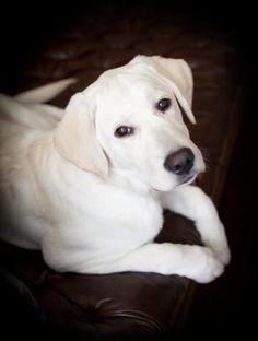 Labrador Retriever all white lol Cute Puppies, Cute Dogs, Dogs And Puppies, Doggies, White Lab Puppies, Big Dogs, I Love Dogs, Beautiful Dogs, Animals Beautiful