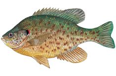 Try Out This Great Fishing Advice Today! Gone Fishing, Fish Art, Botanical Art, Sea Creatures, Art Boards, Coloring Pages, Fish Paintings, Fish Tanks, Art Prints