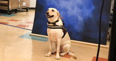 A student's diabetic alert service dog posed for a Louisiana elementary school's yearbook wearing an adorable bow tie. Yearbook Pictures, Dog Poses, Service Dogs, Dog Behavior, Elementary Schools, Labrador Retriever, Bows, Louisiana, Animals