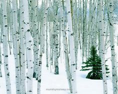 Wall Mural Decor with Birch Tree n Winter Theme - Wallpaper Mural ...