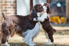 Springer Spaniels - father & son time