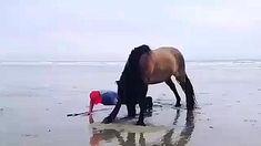 Funny Horse Videos, Funny Horses, Cute Horses, Pretty Horses, Horse Love, Funny Animal Videos, Cute Funny Animals, Animal Memes, Cute Baby Animals