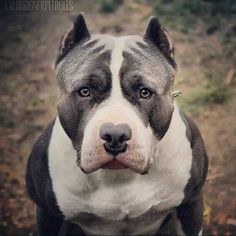 The #American #Staffordshire #Terrier. This breed, England's Staffordshire Bull Terrier, & the Am. Pit Bull Terrier are commonly confused with eachother due to their CLOSE similarities.