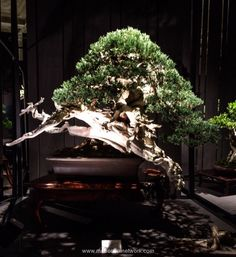 Randy Knight Rocky Mountain Juniper Bonsai Photo by Naedoko Bonsai