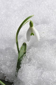 WINTER - Snowdrop by Ettruck Sonntag  early blooming flower with snow