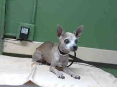 #A4754288 My name is Baby and I'm an approximately 6 year old female chihuahua sh. I am not yet spayed. I have been at the Carson Animal Care Center since September 9, 2014. I will be available on September 13, 2014. You can visit me at my temporary home at CRECEIVING. Carson Shelter, Gardena, California https://www.facebook.com/171850219654287/photos/pb.171850219654287.-2207520000.1410370690./305251532980821/?type=3&theater