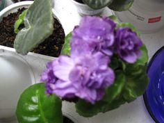 Water Nymph(полумини).Сортовая розетка цветет(фото мое).Продана.Претензий к сорту никаких.