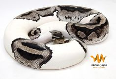 Markus Jayne Ball Pythons. OMG  I thought i wanted a regular pie bald python but now i want this one! The coloring omg
