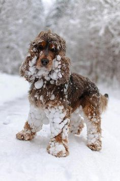 Chocolate & tan cocker playing in the snow lol