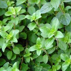 Marjolaine - Plantes et Jardins