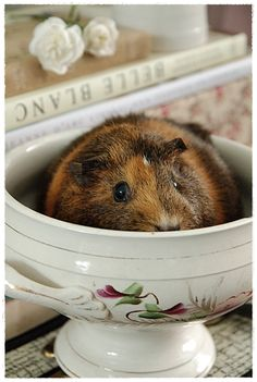 ♥guinea pigs make the most adorable pets!