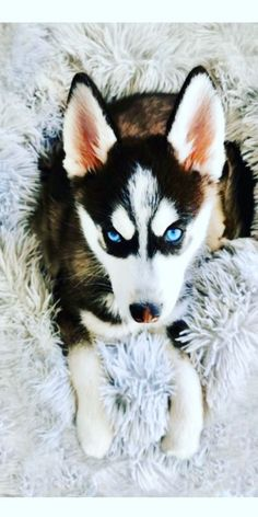 Pomsky Puppies, Dogs And Puppies, Dog Bread, Interesting History, Mixed Breed, Apartment Living, Small Dogs, Cute Dogs, Husky