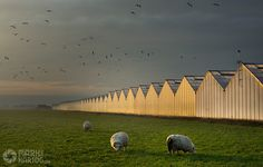 Sheep at the Greenhouse by Mark den Hartog on 500px