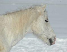 Horses In Snow, Rind, Animals, Donkeys, Animales, Animaux, Animal, Animais