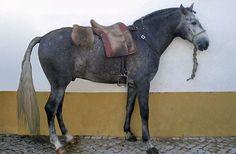 portugal lusitano | ... Portugal's Lusitano Horse on Pinterest | Horses, Portuguese and