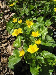 Marsh Marigold (Caltha palustris) - perennial, tolerates wet soil - uses: rain garden, water plant - full sun to part shade - Missouri Native, low maintenance
