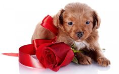 Sweet Dogs, Brown Puppies, Puppy Gifts, Free Hd Wallpapers, Animal Wallpaper, Red Silk, Flower Pictures, Gray Background, Red Roses