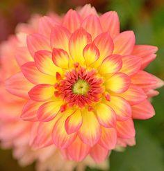 Colours of Summer ~ Dahlia by Aubrey Stoll. love the Dahlia flower