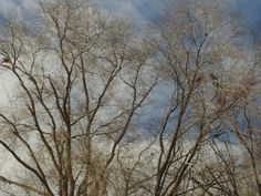 PT 255 FEB 2014 NAMPA IDAHO WILSON PATHWAY GREENBELT. BLACKBIRDS AND NESTS.
