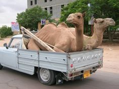 Camels in a vehicle...a common sight in the middle east...