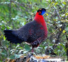 The satyr tragopan also known as the crimson horned pheasant