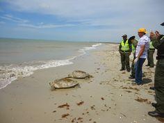 Hoy   es  Noticia: Liberadas dos tortugas marinas en playas de Riohac...
