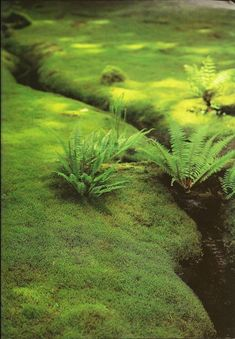 I've always wanted a moss lawn, there's something very magical about them. Moss as a grass alternative lawn.no more mowing, or the smoke and noise that goes along with the mess of taking care of a grass lawn. Shade Garden, Garden Plants, Air Plants, House Plants, Moss Lawn, Grass Alternative, Growing Moss, Design Jardin, Woodland Garden