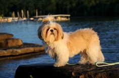 Shih Tzus are very adaptable, suited for anything from apartment living to a sweeping countryside home. Find out more about this dog breed. #ShihTzu