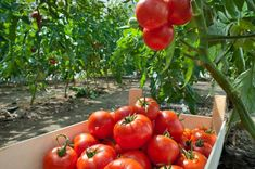 Growing plump, juicy tomatoes is the dream of many gardeners. Even with optimal weather and soil conditions, an otherwise healthy crop can be ruined by tiny, hungry bugs. Some of these critters carry bacteria that can cause even more damage. Tomato Bugs, Tomato Plants, Types Of Vegetables, Planting Vegetables, Vegetable Gardening, Culture Tomate, Nightshade Vegetables, Keep Bugs Away, Bolet