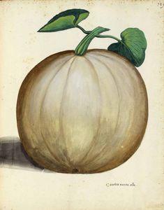 Botanical - Squash - Italian (3)