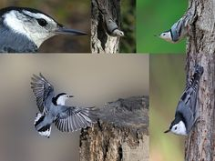 Nuthatch Collage, thanks to these sites:  http://www.photographer1803.com/photo_1803/gallery2/Birds%20Flying/white%20breasted%20nuthatch%20flying.jpg http://www.ownbyphotography.com/WB-Nuthatch2.jpg  http://www.fortedwardchamber.org/fort.edward.animal.hospital/images/high-res/animalhospital-27.jpg http://www.hiltonpond.org/images/NuthatchWhiteBreastM06.jpg http://cdn.birdspix.com/wp-content/uploads/2011/05/White-breasted-Nuthatch-7387v-cr.jpg