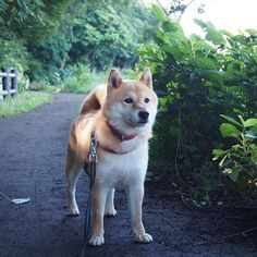 Pinを追加しました!/明日も暑そうだから日陰をお散歩しましょうね。それでは、おやすみなさい #shiba #dog #komugi #柴犬