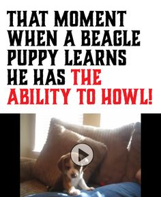 http://compartirvideos.es Reminds me of my Pepper girl. She is a Beagle/Amer hound dog mix and has such a big howl for a little dog. #compartirvideos #funnyvideos