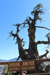 Jardine Juniper è un ginepro che si trova nella foresta nazionale di Cache nello Utah.  I carotaggi eseguiti nel 1950 hanno rivelato un'età superiore ai 1500 anni.  È alto circa 40 m. ed ha un diametro di 7, 21 m.
