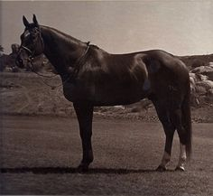 "Talking about The Chronicle of the Horse's ""Classic Thoroughbred Show Horses"" series on the blog! Here is a photo of ""The Godfather"" a champion grand prix show jumper in the 70s."