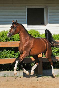 Arabian = perfection