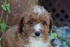 Meet Teddy! This charming little Cavapoo pupper is looking for a bestie. He will arrive home vet checked, vaccinated, ICA registered, has a one year health guarantee, and can be shipped. Both of his parents are great family dogs. We are located in Grabill, IN. CALL OR TEXT TODAY AT 260.705.1619. The post Teddy appeared first on VIP Puppies - Puppy Finder - Puppies for Sale & Puppies for Adoption. If you've enjoyed this post, be sure to follow VIP Puppies on Facebook, Instagram, Pinterest…