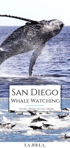 My ultimate guide to whale watching in San Diego includes what you'll see, the best tours to book, what to bring, when to go, and more fun tips.  Learn more here at La Jolla Mom