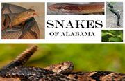 Ever wondered what a Pygmy rattlesnake looks like? Is that a deadly Eastern Coral snake and a common Milk snake? Here is a complete list with photo gallery of the 50 snakes that inhabit the woods and waters of Alabama.
