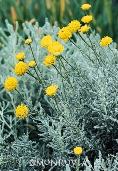 Raised Bed: Cotton Lavender (Santolina chamaecyparissus) close up - Fragrant, dense mound of attractive grayish-silver foliage. Displays small, bright yellow flowers in summer. Drought tolerant when established. Gravel Garden, Garden Shrubs, Herb Garden, Vegetable Garden, Evergreen Shrubs, Deciduous Trees, Evergreen Flowers, Growing Ginger Indoors, Cotton Plant
