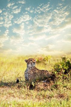 cheetah and landscape