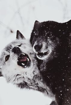 Wolves.