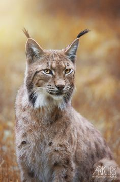 """Lynx by Arkus83 """