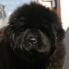 Newfoundland Puppy-ahhhh this is what moby dobi look like as a puppy