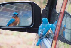 Bluebird in Side Mirror