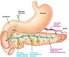 Pancreas - explains 3 pancreatic enzymes