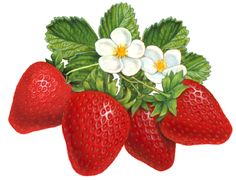 Schneider Stock Illustrations Berries Illustrations Available for Stock Use Strawberry Tattoo, Strawberry Leaves, Strawberry Flower, Strawberry Fields, Fruit Illustration, Food Illustrations, Fruit And Veg, Fruits And Veggies, Strawberry Kitchen