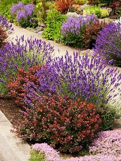 colorful mix of plants and flowers including crimson-leafed dwarf Japanese barberry, lavender, and pink-flowering thyme, and  purple salvia