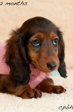 ❤️ Miniature Dachshund, may be our next dog. #dachshund