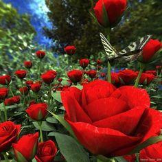 Rosa vermelha no jardim